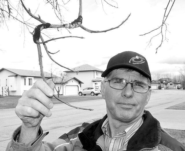 Town of High Prairie employee Kerry Gordey shows Black Knot that has infected Schubert chokecherry and mayday trees in the town.
