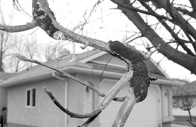Black Knot can first be noticed with a swollen branch that becomes a thick, unsightly black tar-like substance.