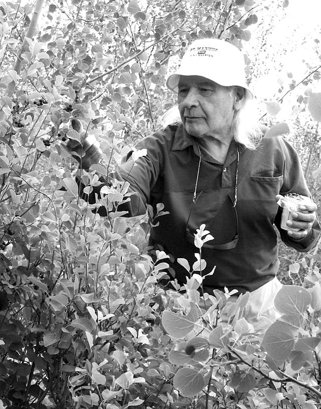 Larry Loyie loved picking saskatoons all his life as he did while a child. Above, he enjoys a bountiful crop near Grouard.