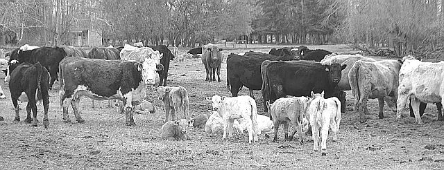 Beef cattle roam in a field on a farm in the High Prairie area. Producers are cautiously optimistic about a profitable year.