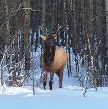 PIC – Bull elk sighted near Jean Cote