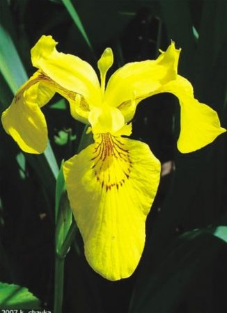 Pale yellow iris confirmed in county