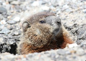 Groundhogs agree spring is early this year