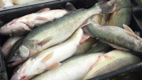 33 people charged in trafficking of fish