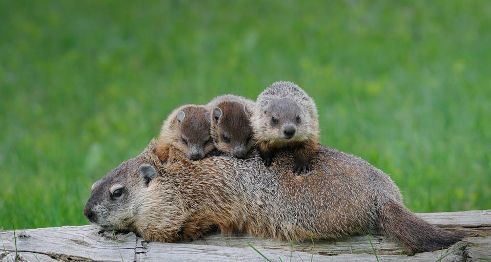 This image has an empty alt attribute; its file name is Groundhog01.jpg