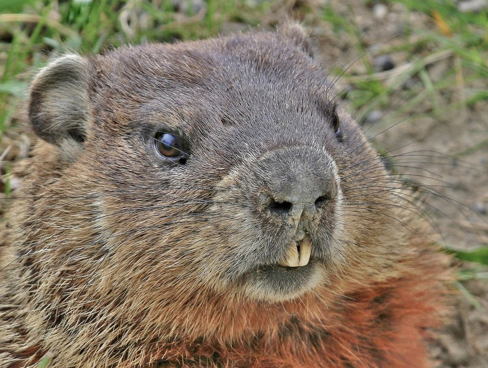 This image has an empty alt attribute; its file name is groundhog02.jpg
